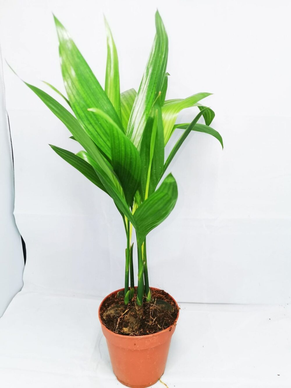 Dypsis lutescens Foliage