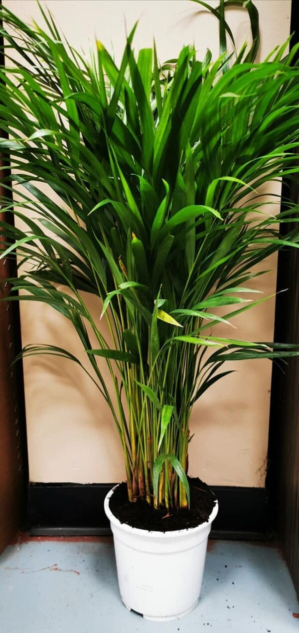 Dypsis lutescens XL