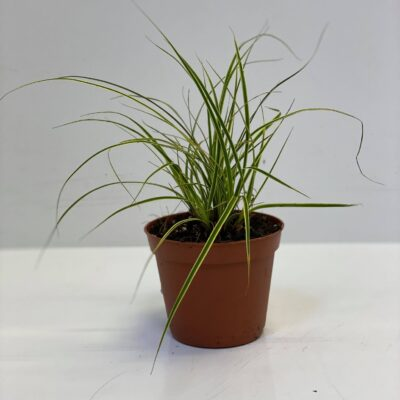 Carex comans 'Variegated' small