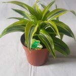 dracaena-lemon-surprise.jpg
