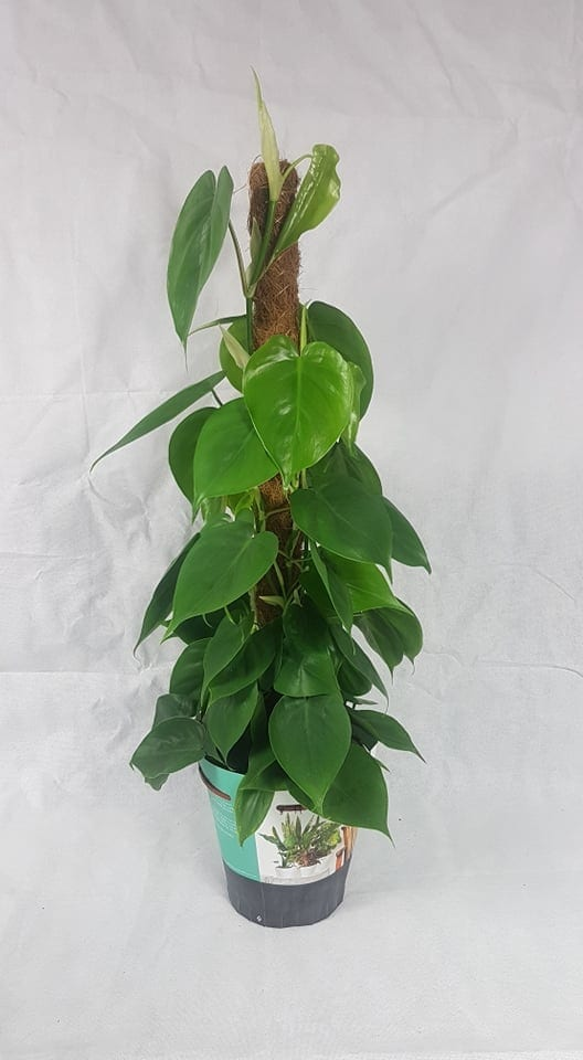 Philodendron Scandens Moss Pole