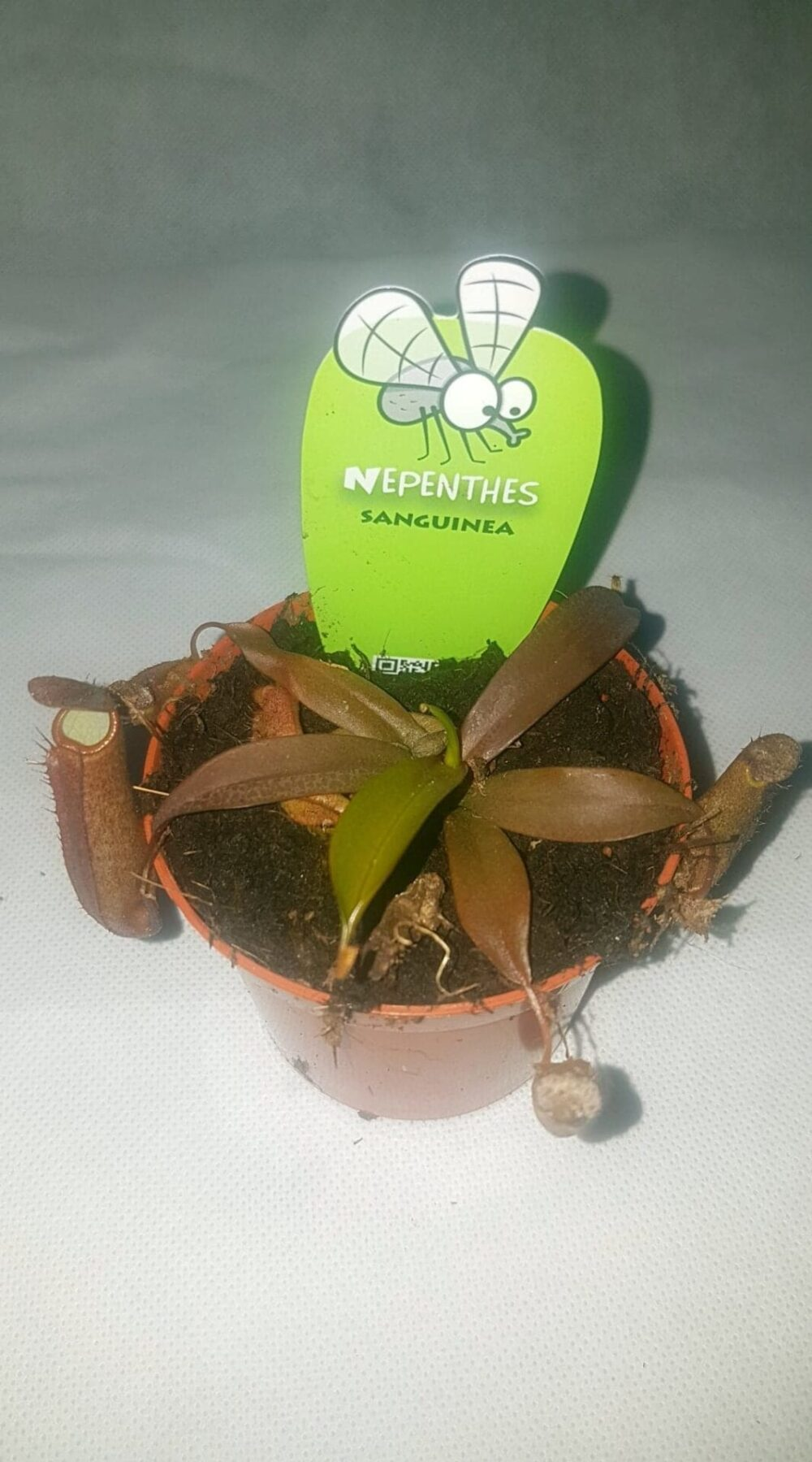 Nepenthes sp – Pitcher plant