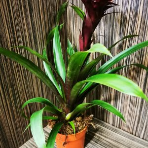Deep Purple Bromeliad