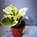 Peperomia green and gold