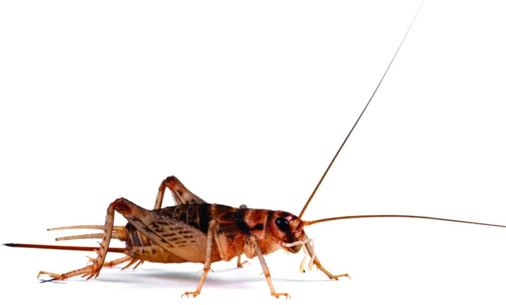 Banded Crickets – Pre-Pack Crickets