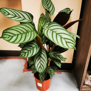 Calathea stripes