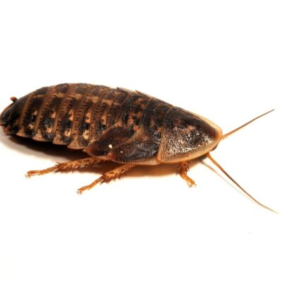 Dubia Roaches Livefood