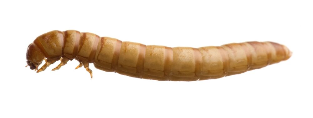 Mealworms Larvae