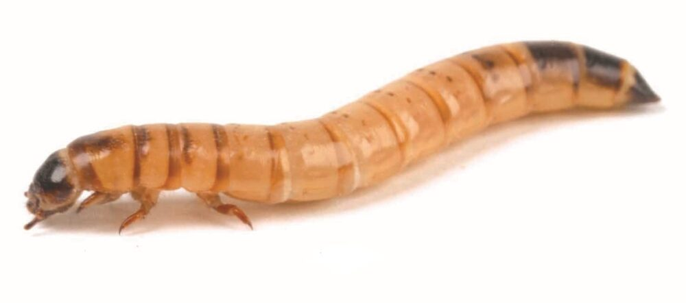 Morio Mealworms Larvae