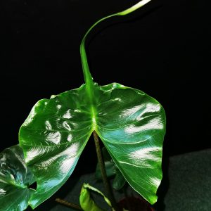 Alocasia stingray leaf
