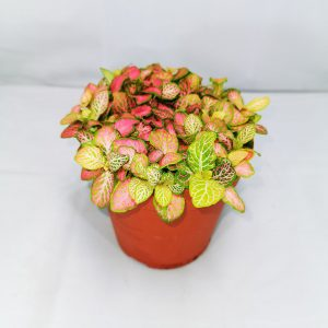 Fittonia Lime and Pink Large