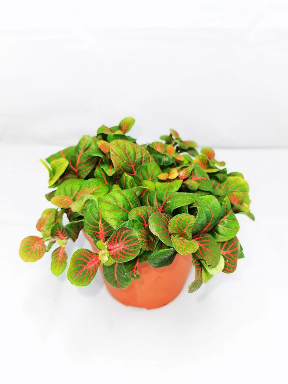 Fittonia 'Green and Red' Large Edible