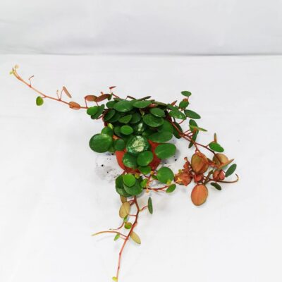 Peperomia pepperspot Live Plants