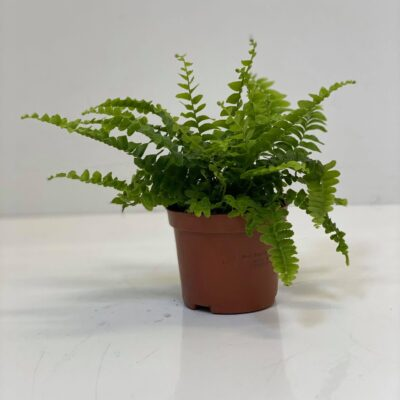 Nephrolepis exaltata 'Green Lady' small
