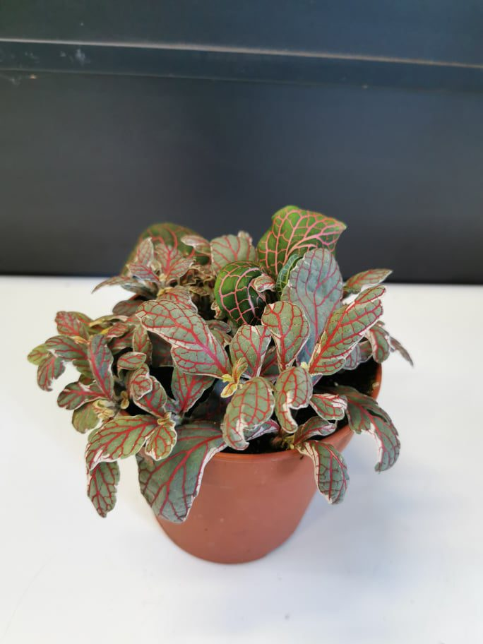 Fittonia Silver Leaf Large