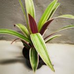 trad-spathacea-scaled-1.jpg